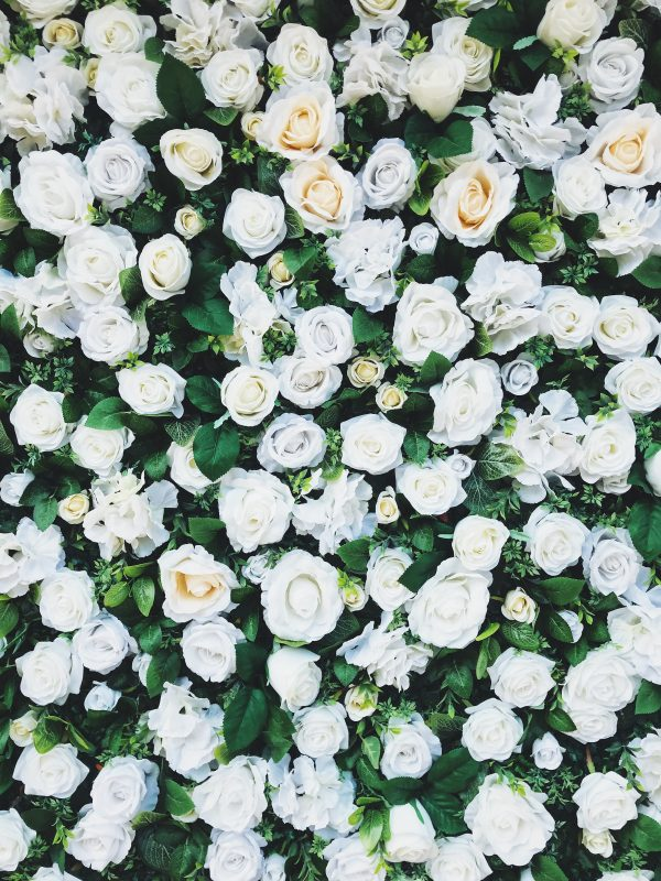 White rose bushes seen from overhead